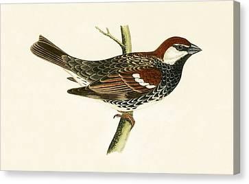 Spanish Sparrow Canvas Print by English School