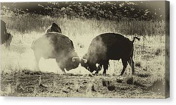 Sparring Partners - American Bison Canvas Print by TL Mair
