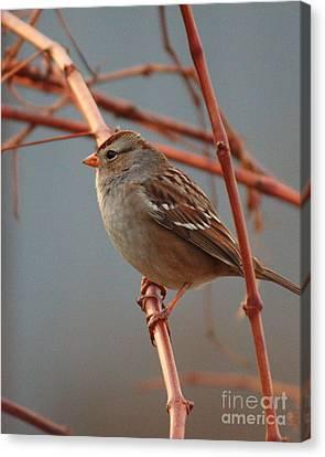Sparrow On Grape Vine Canvas Print by Carol Groenen