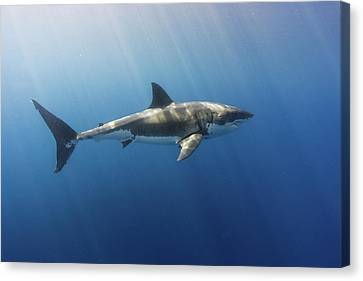 Spectacular Sunrays On A Spectacular Shark Canvas Print by Steven Trainoff Ph.D.