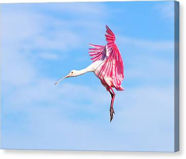 Spoonbill Ballet Canvas Print by Mark Andrew Thomas
