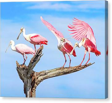 Spoonbill Party Canvas Print by Mark Andrew Thomas