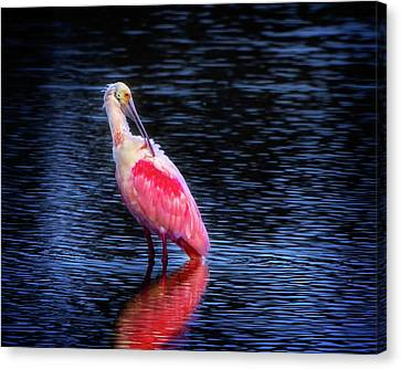 Spoonbill Sunset Canvas Print by Mark Andrew Thomas