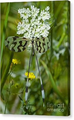 Spoonwing Canvas Print by Steen Drozd Lund