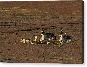 Spot Billed Duck Family  Canvas Print by Ramabhadran Thirupattur