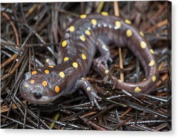 Spotted Salamander Canvas Print by Derek Thornton