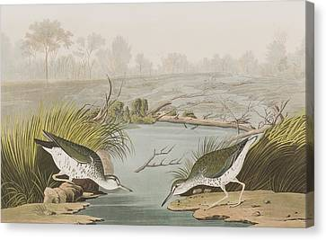 Spotted Sandpiper Canvas Print by John James Audubon