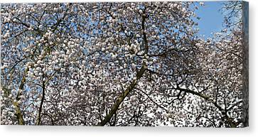 Spring Beauty Canvas Print by Tim Gainey