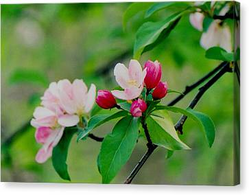 Spring Blossom Canvas Print by Juergen Roth