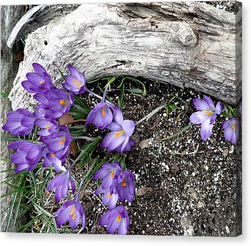 Spring Crocuses And Driftwood Canvas Print by Kate Gallagher