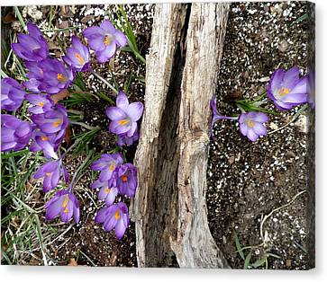 Spring Has Sprung Canvas Print by Kate Gallagher
