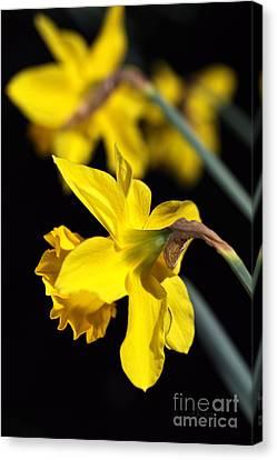 Spring Is Daffodils Canvas Print by Joy Watson