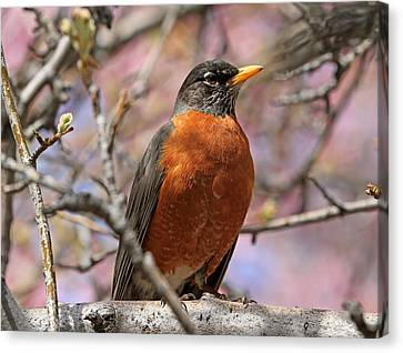 Spring Robin Canvas Print by Donna Kennedy