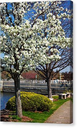 Spring Time In Westport Canvas Print by Karol Livote