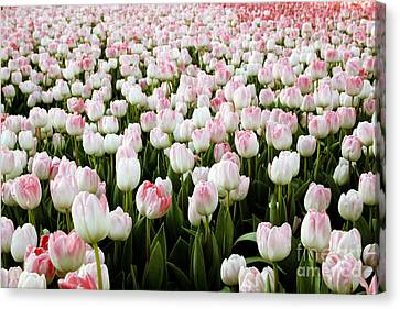 Spring Tulips Canvas Print by Linda Woods