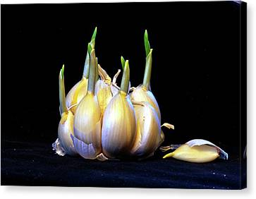 Sprouting Garlic Cloves Canvas Print by Jarmo Honkanen