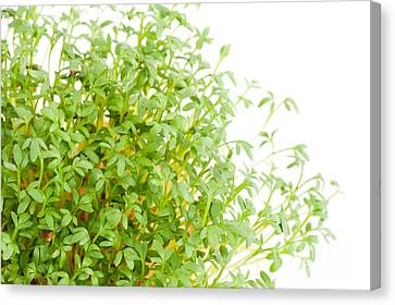 Sprouts Of Lepidium Sativum Or Cress Growing  Canvas Print by Arletta Cwalina