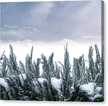 Spruce In Snow Canvas Print by Wim Lanclus