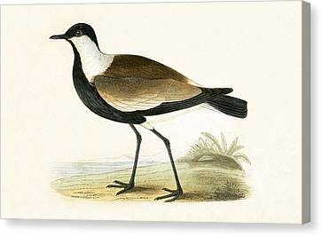 Spur Winged Plover Canvas Print by English School