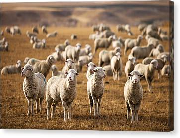 Standing Out In The Herd Canvas Print by Todd Klassy