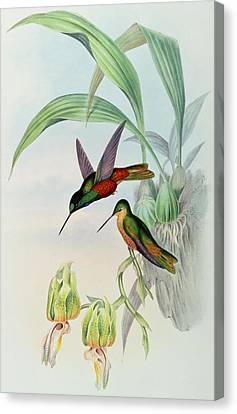 Star Fronted Hummingbird Canvas Print by John Gould