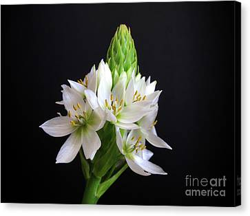 Star Of Bethlehem Canvas Print by Kelly Holm