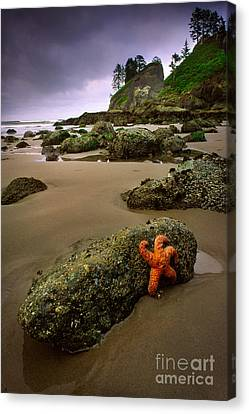 Starfish On The Rocks Canvas Print by Inge Johnsson