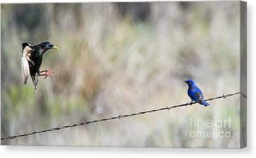 Starling Attack Canvas Print by Mike Dawson