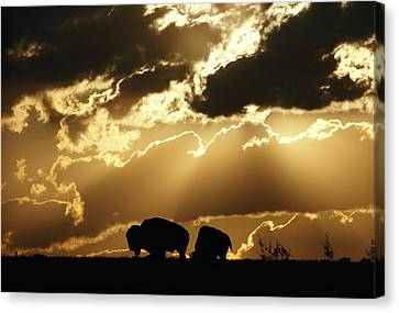 Stately American Bison Canvas Print by George F. Mobley