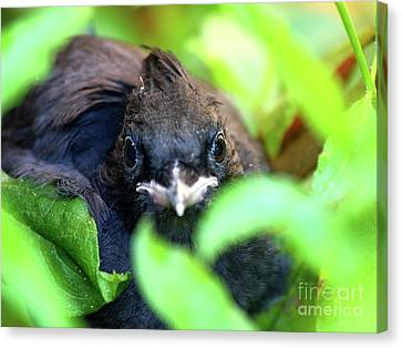 Stellers Jay Chick . 40d501 Canvas Print by Wingsdomain Art and Photography