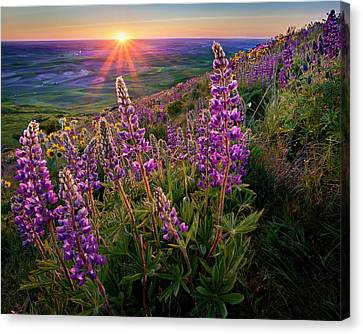 Steptoe Butte Lupine At Sunset Canvas Print by Richard Mitchell - Touching Light Photography