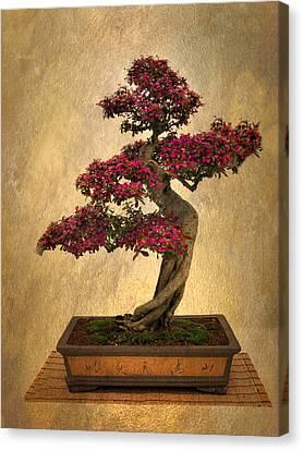 Still Life Bonsai Canvas Print by Jessica Jenney