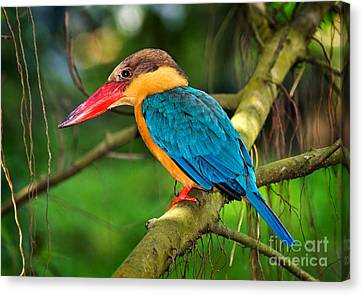 Stork-billed Kingfisher Canvas Print by Louise Heusinkveld