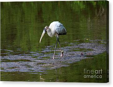 Striding Wood Stork Canvas Print by Christiane Schulze Art And Photography