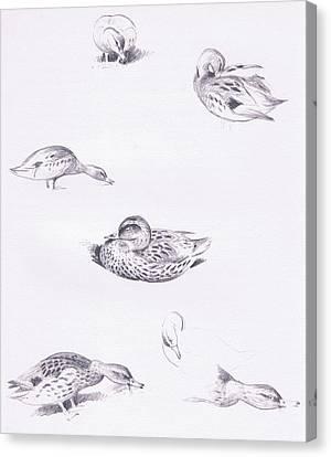 Studies Of Mallard Ducks Canvas Print by Archibald Thorburn