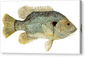 Study Of A Green Sunfish Canvas Print by Thom Glace