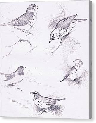 Study Of Thrushes Canvas Print by Archibald Thorburn
