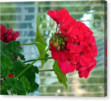 Stunning Red Geranium Canvas Print by Will Borden