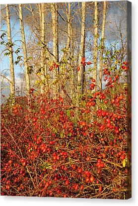 Stunning Rose Hips Canvas Print by Will Borden