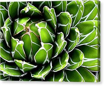 Succulent In Color Canvas Print by Ranjini Kandasamy