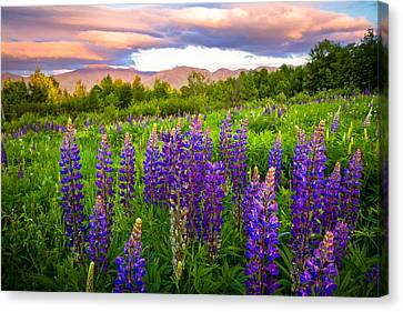 Sugar Hill Lupines Canvas Print by Robert Clifford