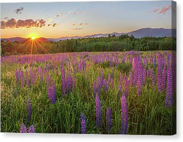 Sugar Hill New Hampshire Lupine Canvas Print by Bill Wakeley