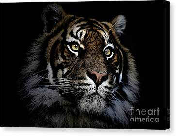 Sumatran Tiger Canvas Print by Avalon Fine Art Photography