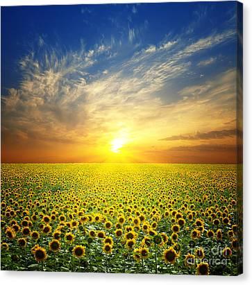 Summer Landscape Beauty Sunset Over Sunflowers Field Canvas Print by Caio Caldas
