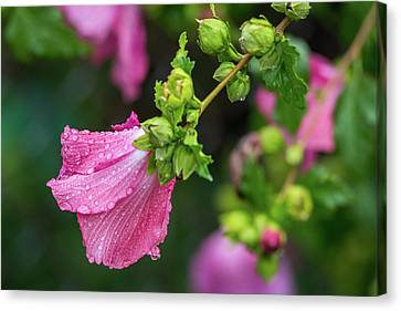 Summer Rain Rose Of Sharon Canvas Print by Terry DeLuco