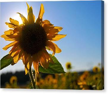 Sun And Sunflower Canvas Print by Brian Bonham