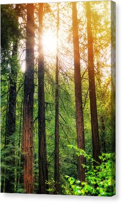 Sun Bursting Through California Redwoods Tress - Muir Woods Canvas Print by  Jennifer Rondinelli Reilly