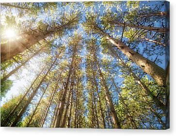 Sun Shining Through Treetops - Retzer Nature Center Canvas Print by Jennifer Rondinelli Reilly