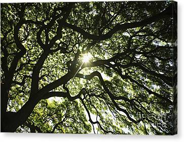 Sunburst Through Tree Canvas Print by Brandon Tabiolo - Printscapes
