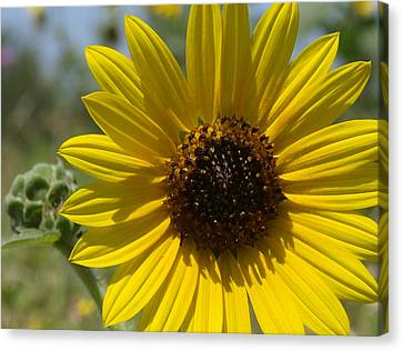 Sunflower 9  Canvas Print by James Granberry